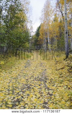 Wide forest trail strewn with yellow fallen leaves