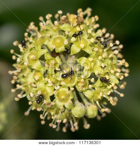 Jet black ants (Lasius fuliginosus) on ivy flowers