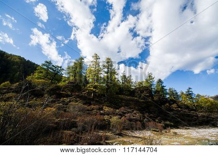 Pine Trees In Autumn