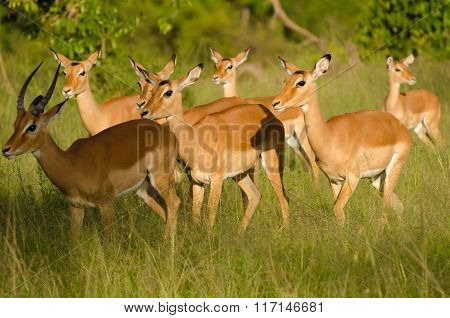 Thompson's gazelle herd