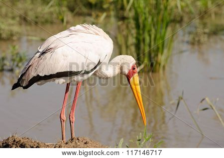 The white stork in Masai Mara, Kenya