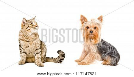 Yorkshire Terrier and cat Scottish Straight