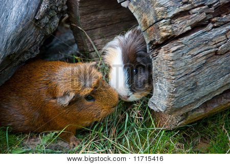 Two Guinea Pigs Met