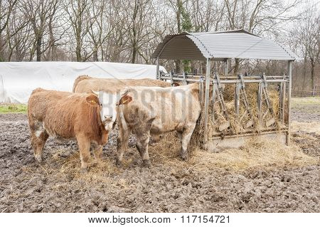 Cows Eat The Hay In The Barn