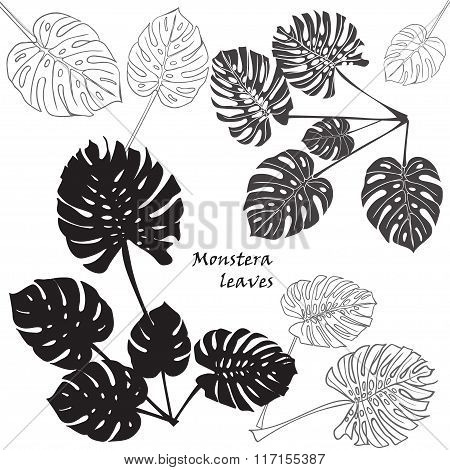 Silhouette Tropical Monstera Leaves. Black Isolated On White Background.