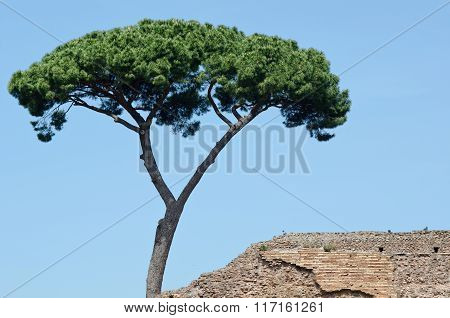 Maritime Pine Near An Ancient Roman Wall