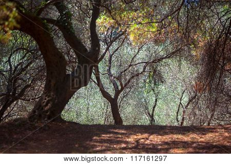 Olive Trees Glade