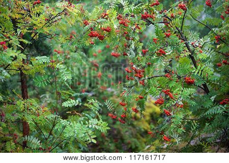 Thicket Of Rowan