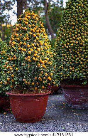 Tet Kumquat Trees the symbols of Lunar New Year Holidays