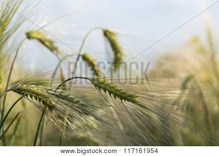 Ears Of Barley In A Sunny Field Against The Blue Sky