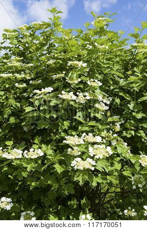 The snowball tree (guelder rose) blossoms in a summer time.