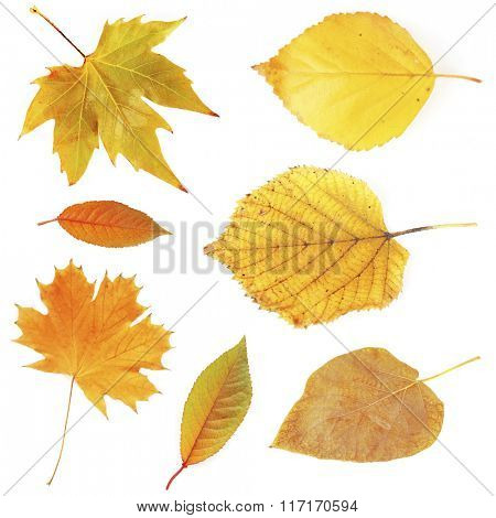 Different autumnal leaves, isolated on white