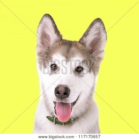 Portrait of Malamute puppy on yellow background