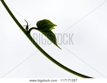 Creeper bud on white background