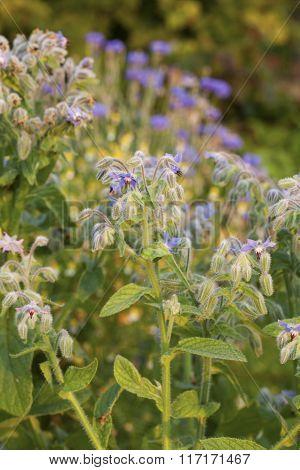 Blue flowers of Borage (Borago officinalis or Echium amoenum).