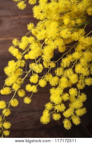 Fresh mimosa flower