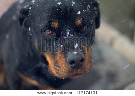 Rottweiler With Snowflakes On The Face
