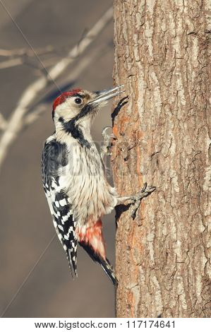 spotted woodpecker on a tree