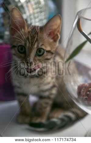 Charming Bengal Cat