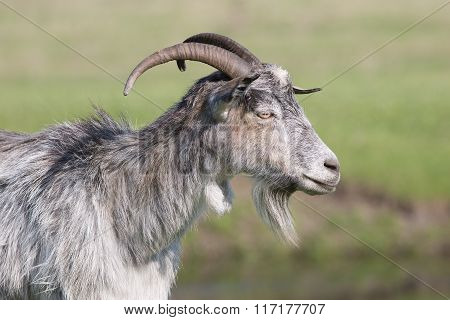 Grey goat standing in profile.