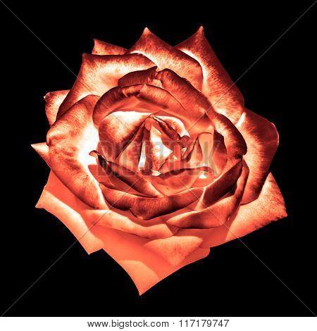 Surreal Dark Chrome Cream Orange Tender Rose Flower Macro Isolated On Black