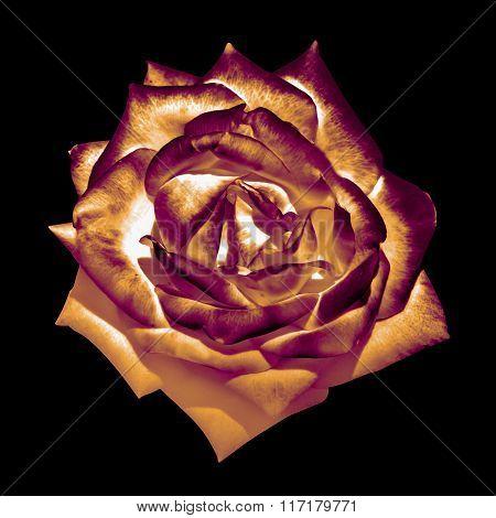 Surreal Dark Chrome Bronze Tender Rose Flower Macro Isolated On Black