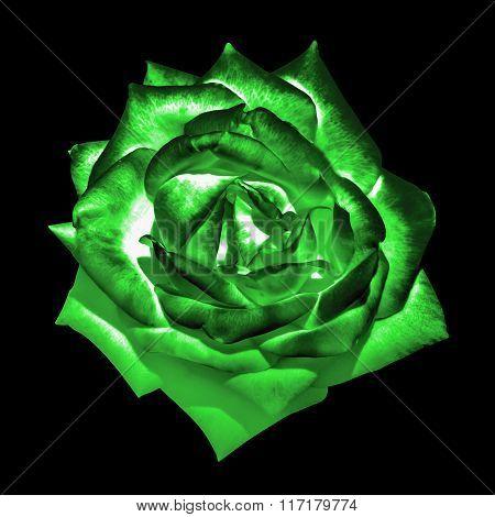 Surreal Dark Chrome Green Tender Rose Flower Macro Isolated On Black