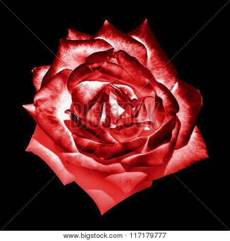 Surreal Dark Chrome Red Tender Rose Flower Macro Isolated On Black