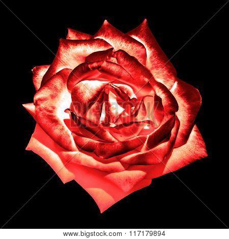 Surreal Dark Chrome Cream Red Ender Rose Flower Macro Isolated On Black