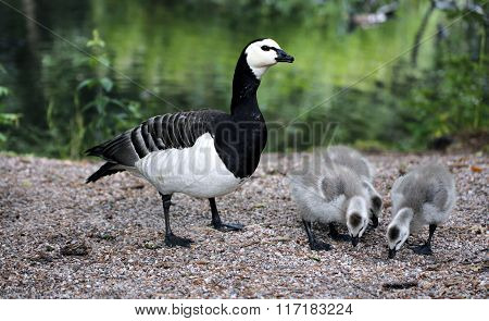 Family Of Geese With Small Gray Chicks