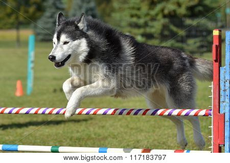 Siberian Husky At A Dog Agility Trial