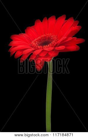 Red gerbera flower on black background