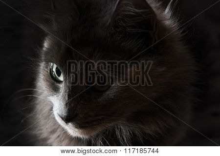 Close-up portrait of a gray cat with big green eyes, focus on far eye