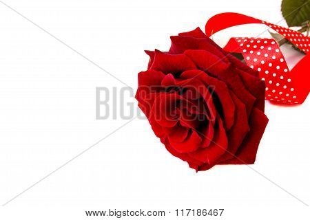 Red rose with polka dot ribbon