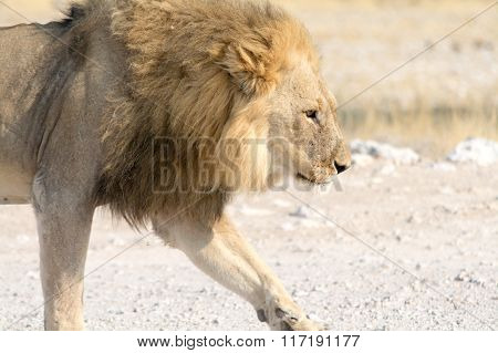 Male Lion On A Gravel Road