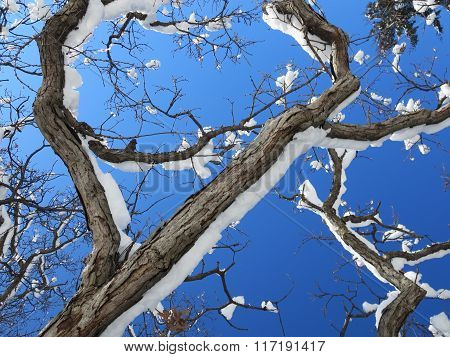 Beautiful Snow on Oak Tree Branches Close-up
