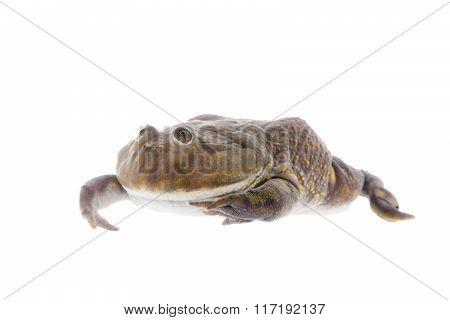 The Budgett's or hippo frog, Lepidobatrachus laevis, on white