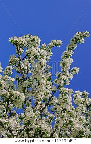 Cherry plum blossoms in spring