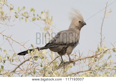 Go-away-bird In Acacia Tree