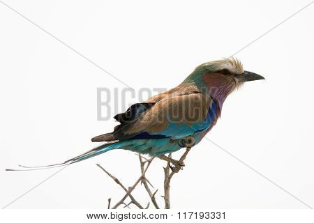 Lilac Breasted Roller On Top Of A Tree