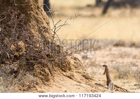 Ground Squirrel In Front Of Tree