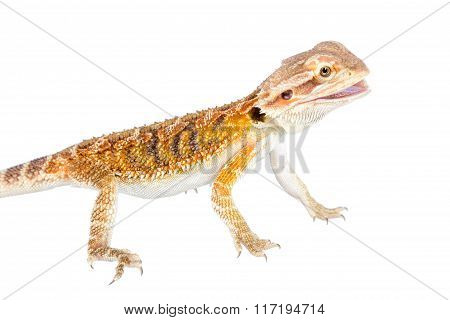 Red Bearded dragon, Pogona vitticeps, on white