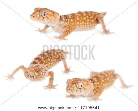 Rough Knob-tailed Gecko  isolated on white
