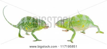 Usambara giant three-horned chameleon, on white