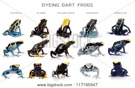 Dyeing poison dart frogs set, Dendrobates tinctorius, on white