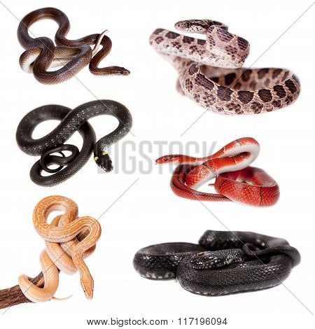 Colubridae snakes set, on white