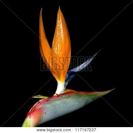 Strelitzia reginae is a monocotyledonous flowering plant indigenous to South Africa. Common names include Strelitzia, Crane Flower or Bird of Paradise.