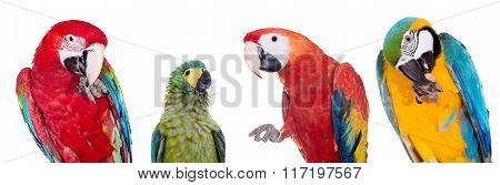 Macaws set on white background