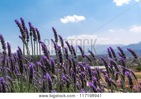 Lavender flower with cloud in blue sky