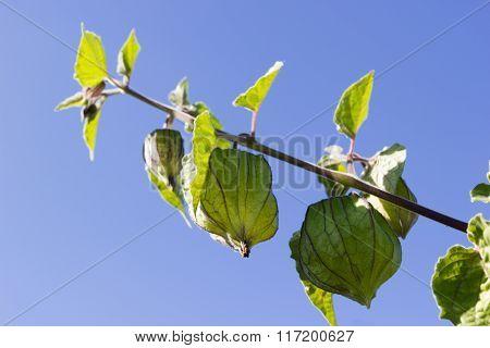 Cape Gooseberry (physalis Peruviana), Little Twig On Blue Sky Background.